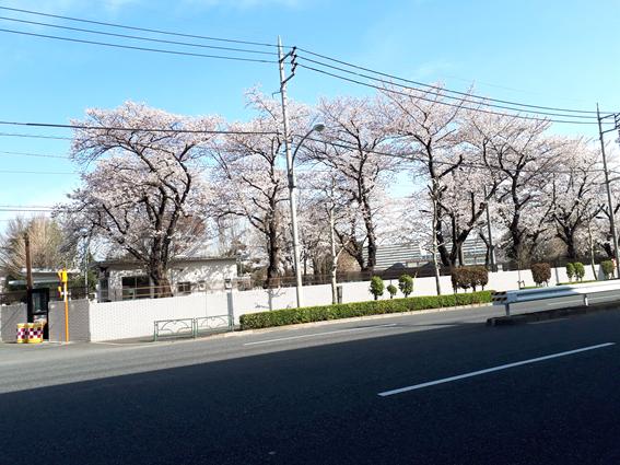 もみの樹・練馬前の桜並木が見頃です。